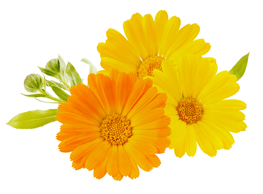 Bright orange and yellow calendula flowers, with a few buds and leaves