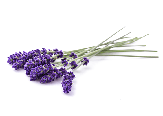 Wands of rich purple lavender on a white background.